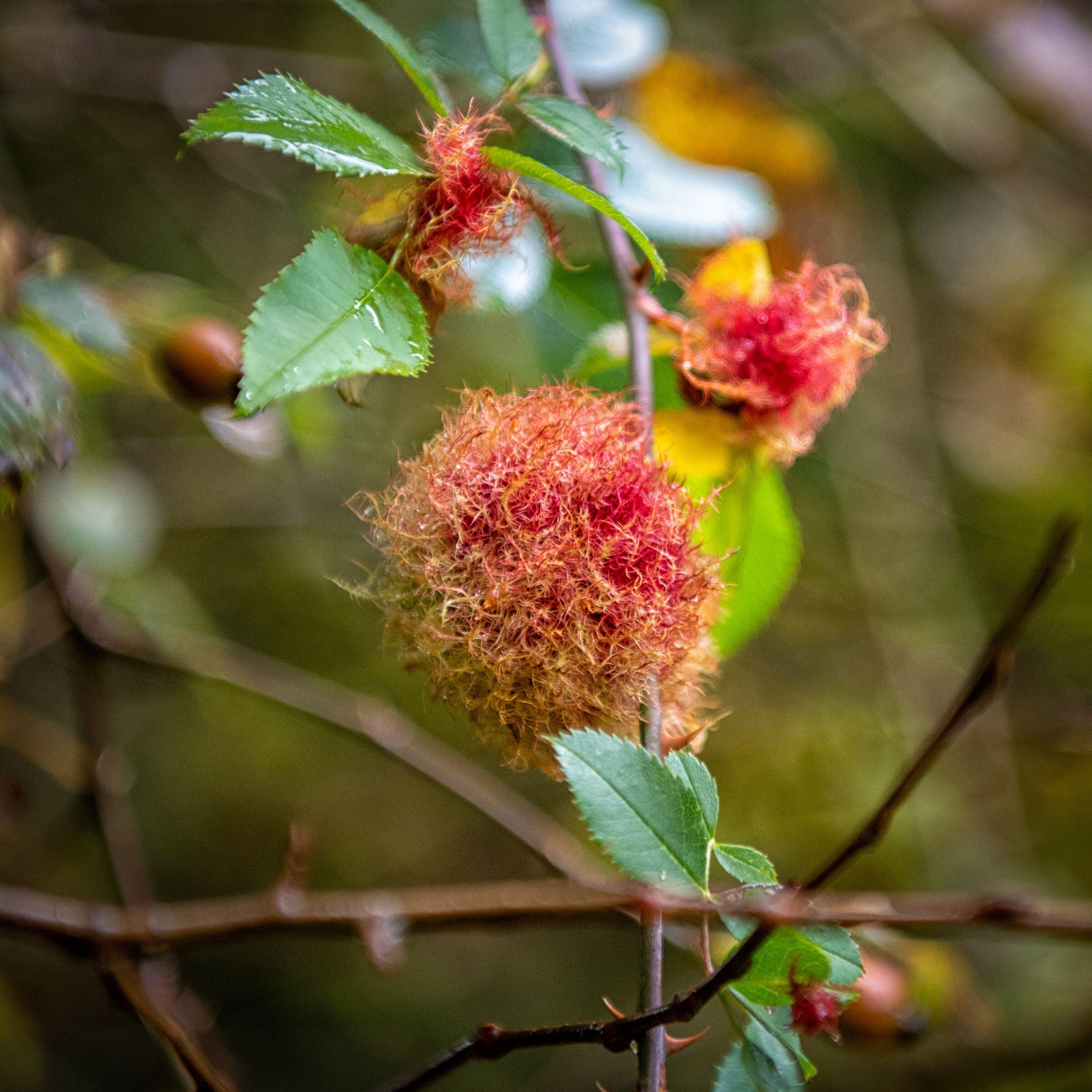 Hochmoor Blüte